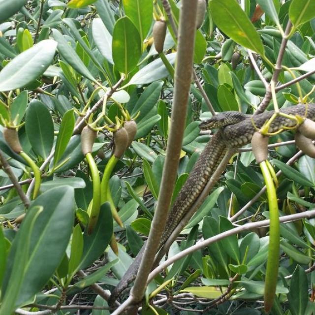 Mangrovesnake Cocoabeachthousandislands