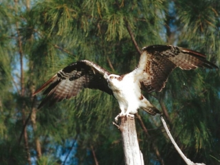 Osprey Taking Flight