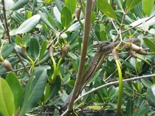 Mangrove Snake Cocoa Beach Thousand Islands